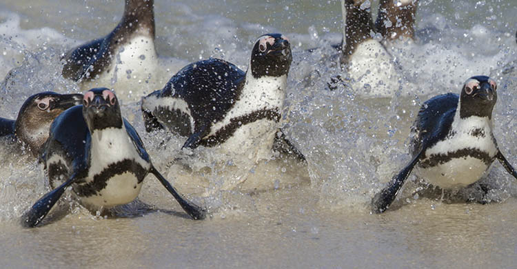 Photo: African Penguin Credit: Mike Barth. Source: www.unep-aewa.org