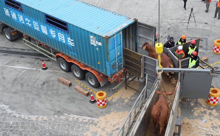 Photo: Beef cattle imported from Australia are being transported on to a truck in a port in east China's Zhejiang province. January 28, 2018. Source: East Asia Forum.