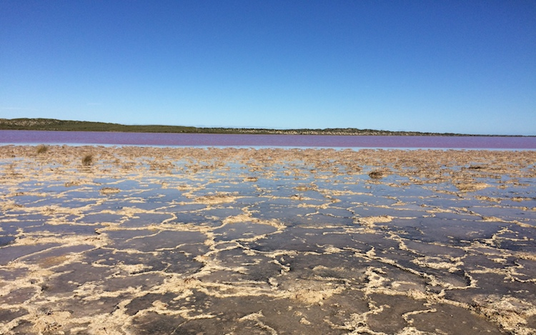 Photo: In a desert area located on the west coast of Australia. The lake looks pink because of Dunaliella. Credit: Midori Kurahashi.