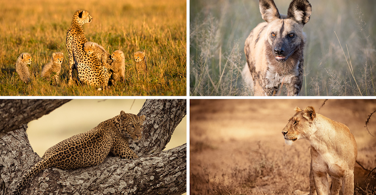 Photo: Cheetah © Jim Zuckerman; African Wild Dog © John Birch; Leopard and Lion © Jacques-Andre Dupont. Source: CMS