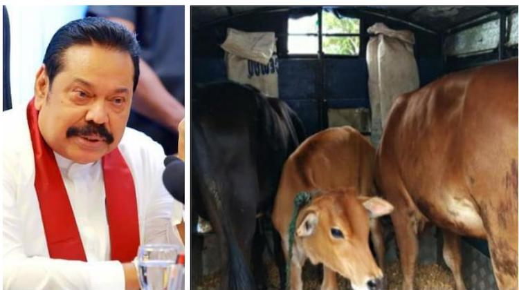 Photo: Collage of pictures of Prime Minister Rajapaksa and cattle. Source: Sri Lanka Newswire.