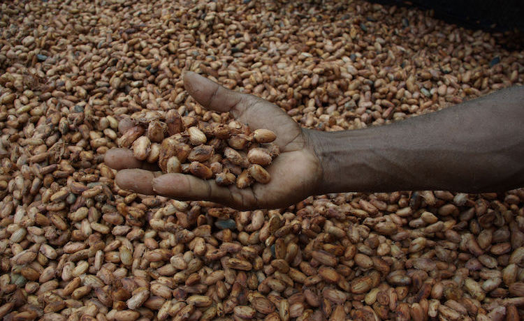Photo: Cocoa beans drying in the sun. Credit: Wikimedia Commons