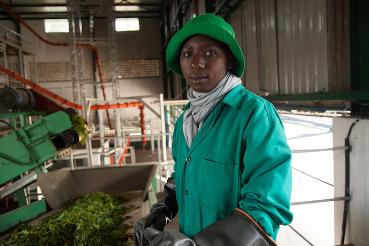 Photo: A worker sorts a green leaf tea before it reaches the main processing floor at the Kitabi Tea Processing Facility in Rwanda. Credit: A'Melody Lee / World Bank