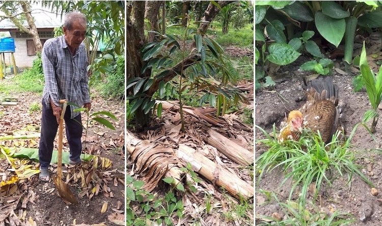 Photo collage: (left to right) Kumnung Chantasit demonstrating how to plant cardamom; An example of how banana trunks and leaves are used to protect the young trees; One of the hard working Thai chickens. Credit: Bronwen Evans.