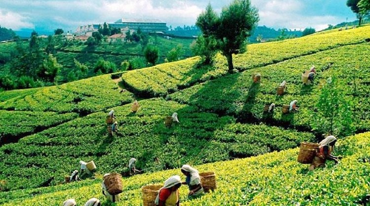 Photo: Tea plantation in Sri Lanka. Credit: Sri Lanka government