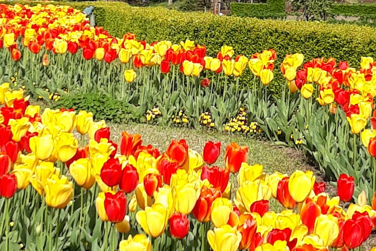 Photo: Tulips garland Mt Daisen. Credit: Palitha Kohona